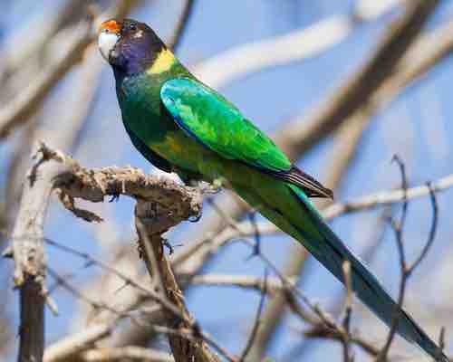Port Lincoln Parrot (Australian Ringneck)