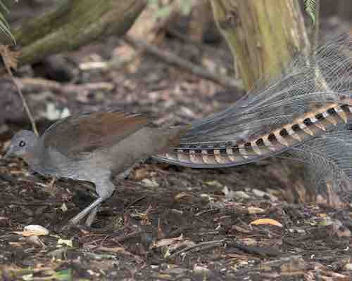 Super Lyrebird