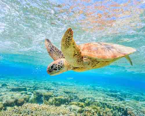 Turtle at Lady Elliot Island