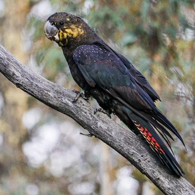 female glossy black cockatoo