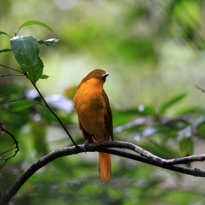 golden_bowerbird