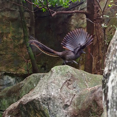 impressive_superb_lyrebird