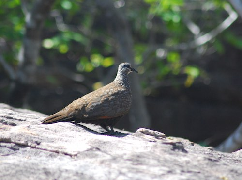 Chestnut-quilled Rock-Pigeon