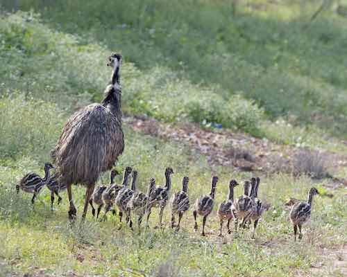 Emu with chicks