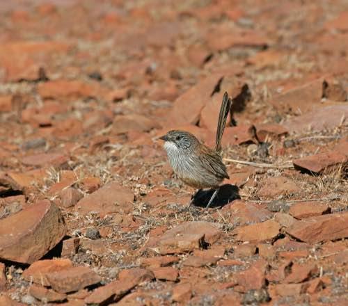 Short-tailed Grasswren